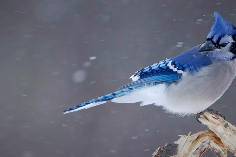 Blue Jay Sightings: What It Means